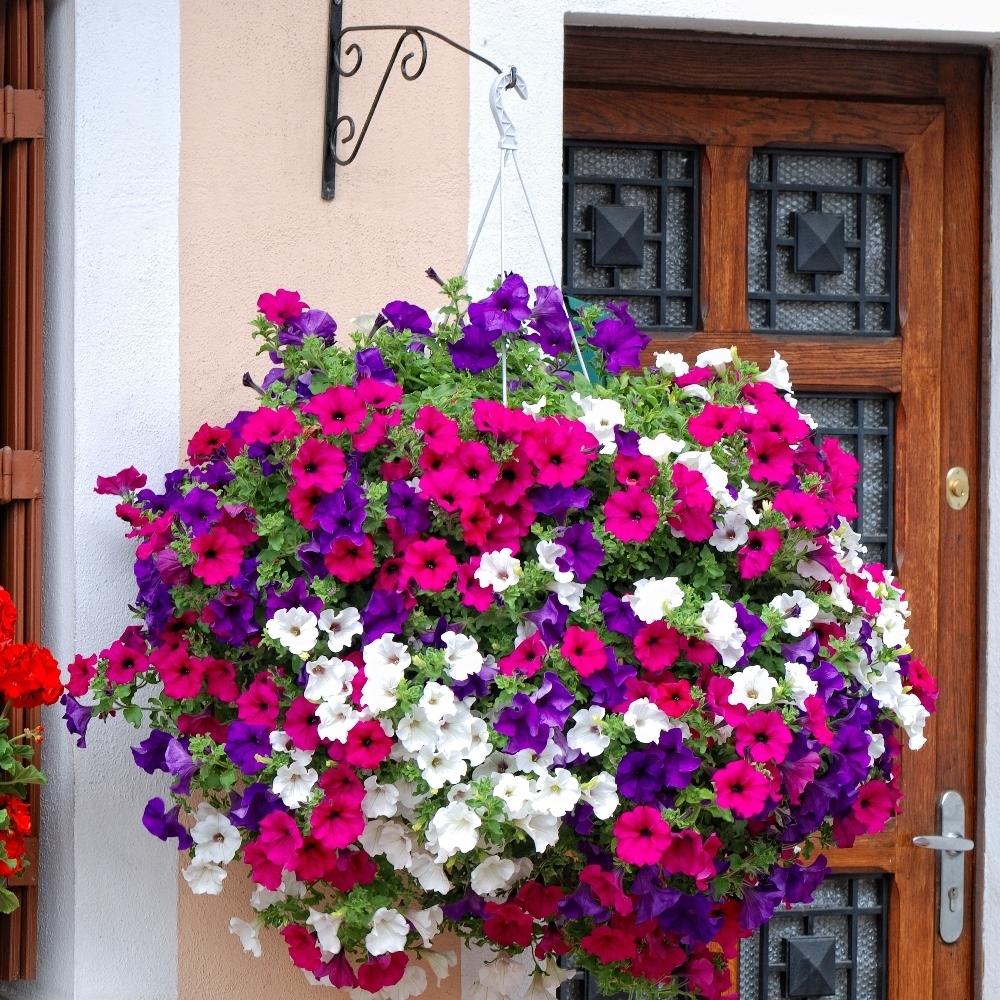 Petunia mieszanka balkonowa w sklep nasiona sprawd for Surfinia balcone