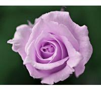 Róża wielkokwiatowa fioletowa - sadzonka