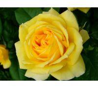 Róża wielkokwiatowa żółta - sadzonka