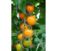 Pomidor doniczkowy zwisający żółty nasiona