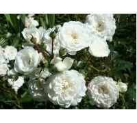 Róża okrywowa biała sadzonki