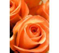 Róża wielkokwiatowa łososiowa sadzonki