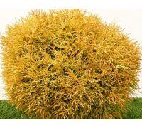 Tuja Golden Tuffet sadzonki