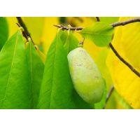 Drzewo bananowe nasiona