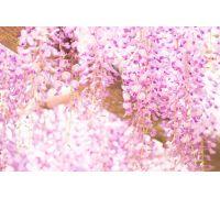 Wisteria różowa sadzonki