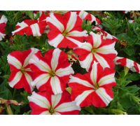 Petunia o kwiatach dwubarwnych czerwona