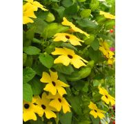 Tunbergia żółta