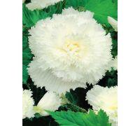 Begonia strzępiasta - biała - 2 szt.