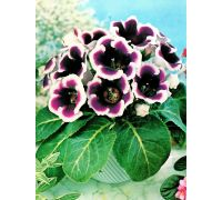 Gloksynia fioletowo-biała - Kaiser Wilhelm