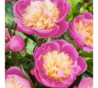 Piwonia, Paeonia - Bowl of Beauty - sadzonka