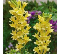 Tuberoza wonna żółta - Polianthes Yellow Baby