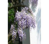 Glicynia kwiecista - fioletowo-niebieska - duża sadzonka