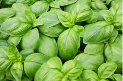 Bazylia zielona nasiona ekologiczne