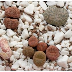 Żywe kamienie - Litopsy - 50 nasion