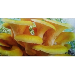Boczniak cytrynowy