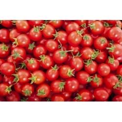 Pomidor Maskotka - 200 nasion