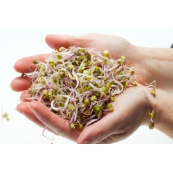 Nasiona na kiełki - mieszanka francuska