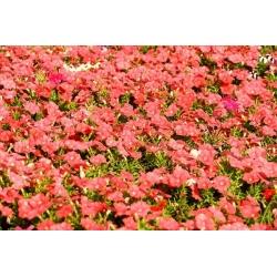 Petunia ogrodowa - Kaskada łososiowa - 160 nasion