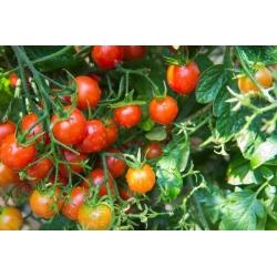 Pomidor wysoki czereśniowy - Pokusa - 480 nasion