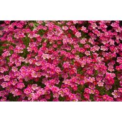Skalnica – kobierzec różnobarwnych kwiatów - 2000 nasion