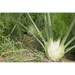 Fenkuł, Koper włoski - Mammouth - 200 nasion