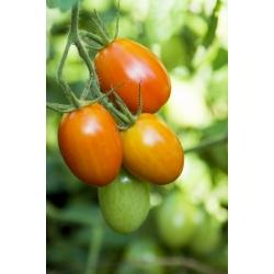 Pomidor Kmicic - 500 nasion