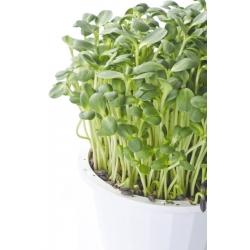 Słonecznik - nasiona na kiełki