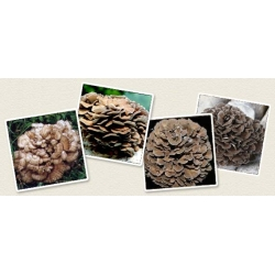 Żagwica listkowata Maitake - grzybnia na kołkach - Planto