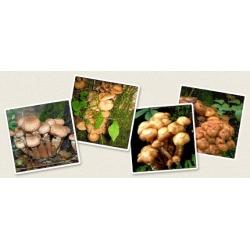 Opieńka miodowa - grzybnia na kołkach - Planto