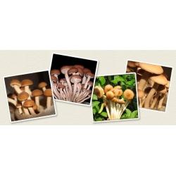 Polówka wiązkowa - grzybnia na kołkach - Planto