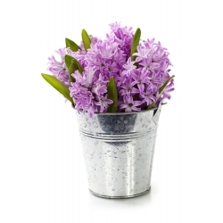 Hiacynt Splendid Cornelia - 3 cebule