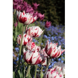 Tulipan Carnaval de Nice - 5 szt.