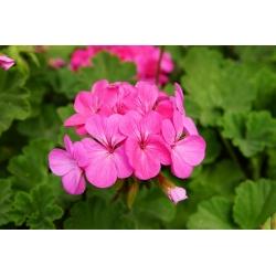 Pelargonia różowa - 10 nasion