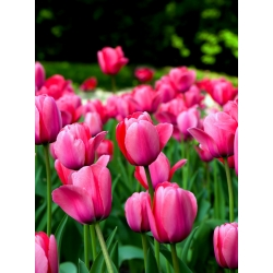 Tulipan Van Eijk - 5 cebulek