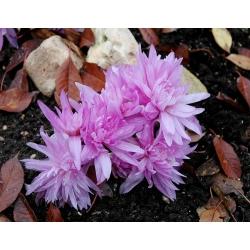 Zimowit pełny Waterlily - ogrodowa lilia wodna - 1 cebulka