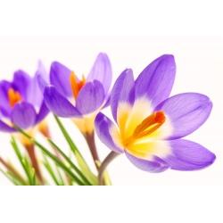 Krokus Tricolor - 10 cebulek