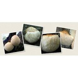 Soplówka jeżowata - ulubiony grzyb Azjatów!