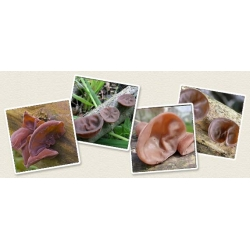 Ucho bzowe, uszak bzowy - grzybnia na kołkach - Planto