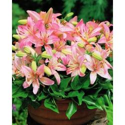 Lilia miniaturka - Pink Pixie - 1 cebula