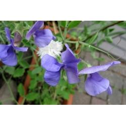 Groszek pachnący - niebieski - 36 nasion