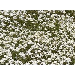 Piaskowiec górski - 75 nasion
