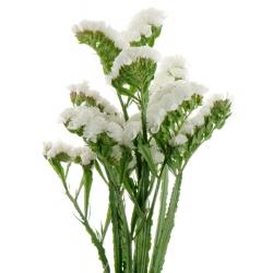 Zatrwian wrębny - biały - 105 nasion