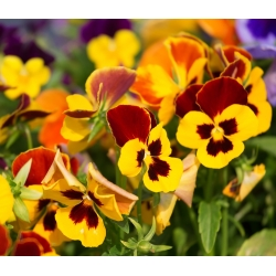 Bratek wielkokwiatowy - żółto-brązowy - 400 nasion
