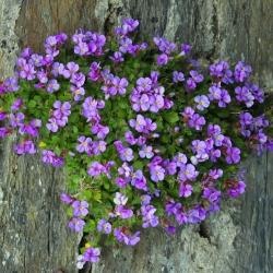 Gęsiówka alpejska - różowa - 1410 nasion