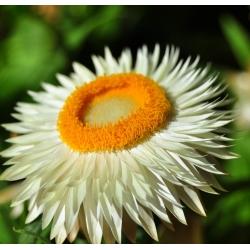 Kocanka, Nieśmiertelnik - o kwiatach białych - 1250 nasion