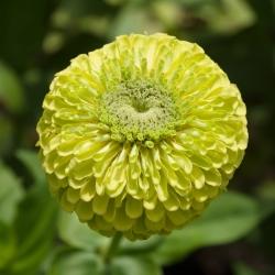 Cynia wytworna Lilliput - 90 nasion