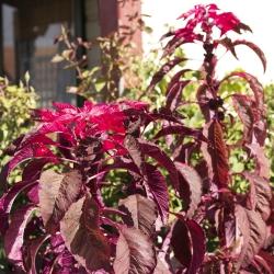 Szarłat trójbarwny - 140 nasion