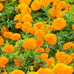 Aksamitka wzniesiona pomarańczowa - 300 nasion