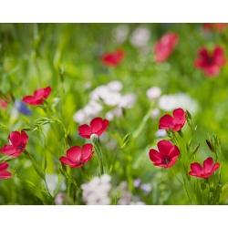 Len wielkokwiatowy - 300 nasion