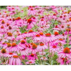 Jeżówka purpurowa - 230 nasion